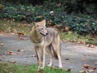 Coyote100_1229 (Medium).JPG (123815 bytes)