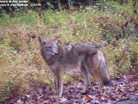 Coyote1 (Medium).jpg (113437 bytes)